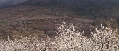 cerezos_3